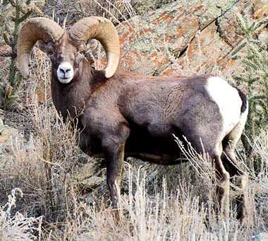ND-Bighorn Sheep