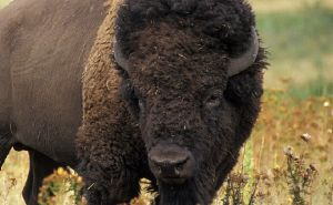 Wyoming-Bison on Roads