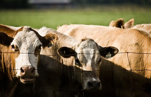 Cattle and  Calf Loss Report