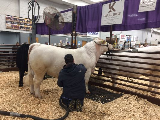 The Grand Champions Charolais Bull gets some winning treatment Wednesday morning at the BHSS.