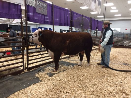 Grand Champion Hereford Bull K Flanders 835 gets some pampering at Supreme Row Thursday.