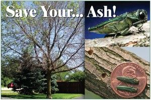 The emerald ash borer has killed tens of millions of ash trees across 33 states since its discovery in Michigan in 2002. In 2018, the invasive insect arrived in South Dakota.  The SD Department of Agriculture advises that now is the time to begin planning