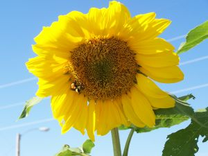 Sunflower Production Report